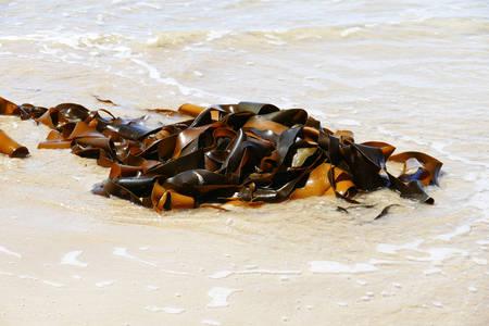 alga marina: Quelpo