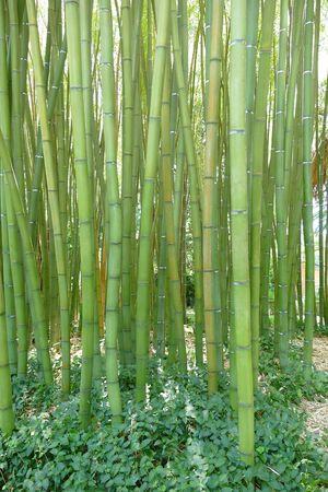 Giant bamboos in botanic garden in Pisa Stock Photo