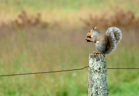 Squirrel eating a walnut on a fence Stock Photo