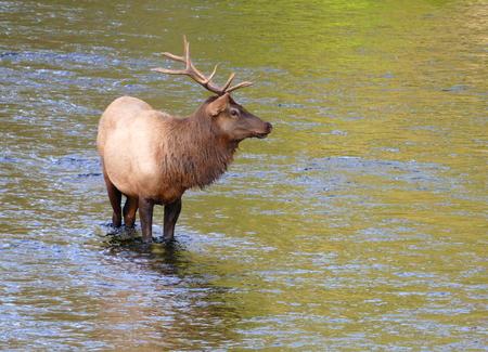 Elk in the river Stock Photo