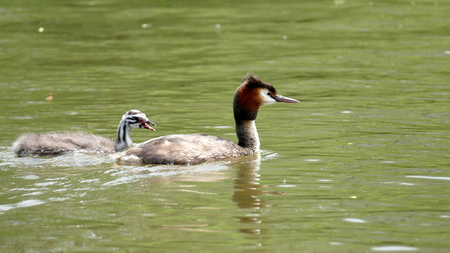 Great Crested Grebe with youngster
