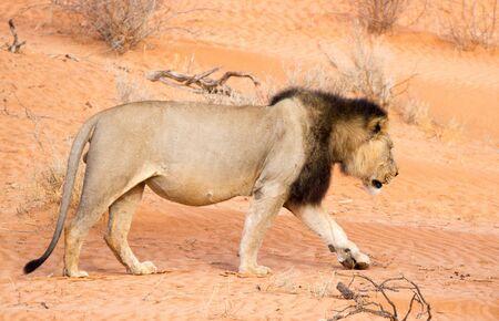 Black-maned Kalahari lion walking the red dunes