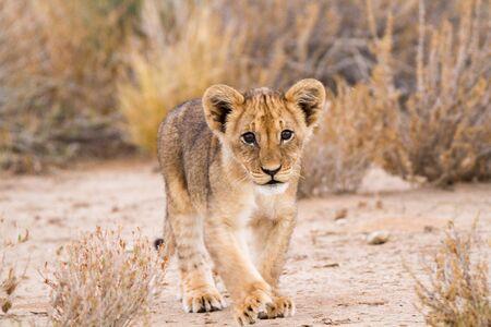 Lion cub walking Archivio Fotografico