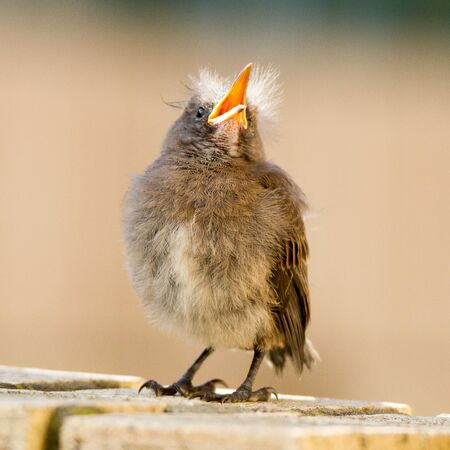 Cape Sugarbird fledgling begging for food from parents, George South Africa, suburban garden.