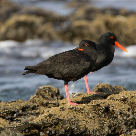 African Oystercatcher at Jeffreys Bay