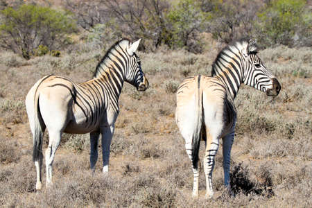 Two zebra showing the distinct lack of rump stripes that are part of the breeding program to breed back the kwagga or quagga which was hunted to extinction in South Africa. Photo: Karoo National Park Reklamní fotografie