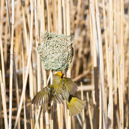 Karoo National Park near Beaufort West, South Africa: Southern Masked-weaver at its nest
