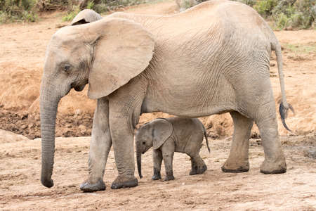 Addo Elephant National Park South Africa: baby elephant with its mother