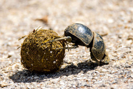 Addo Elephant National Park, South Africa: dung beetle rolling a ball of dung to its underground nest Banque d'images
