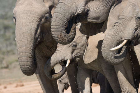 Addo Elephant National Park, South Africa: family group of elephants drinking at Hapoor dam