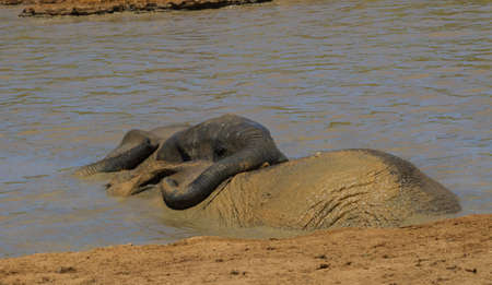 Addo Elephant National Park: two elephnats playing while bathing