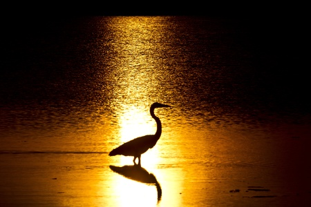 heron: Heron in Sunlight