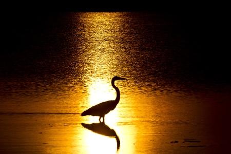 Heron in Sunlight