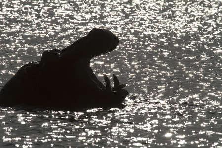 Hippo in the sun