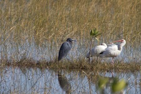wading: wading birds