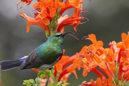 Collared Sunbird posing