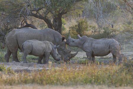 rhinoceroses family