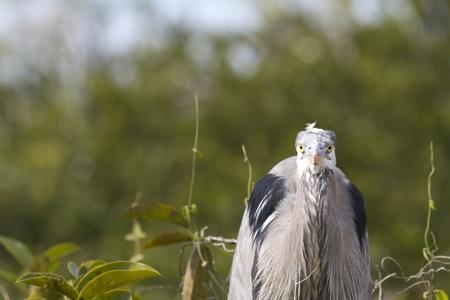 stringent: heron bird