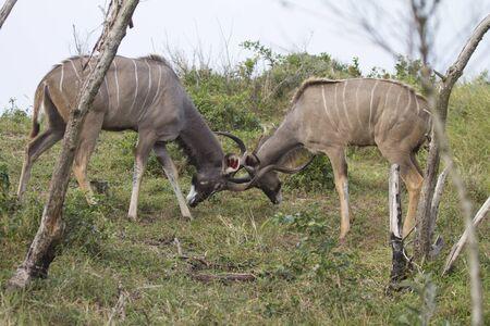 한 Kudu의 싸움