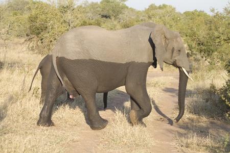 half-wet elephant Stock Photo
