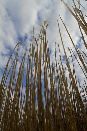 vertical cane Stock Photo
