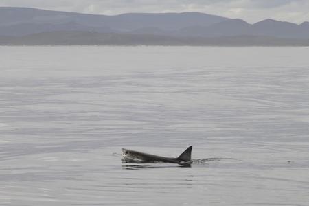 great white shark swimming photo