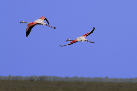flying flamingos photo
