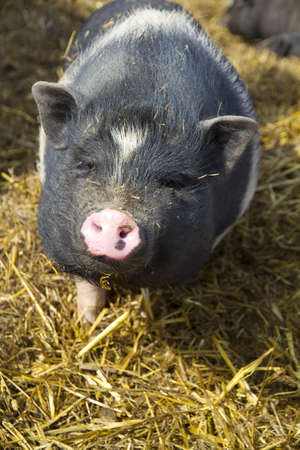 curious pig Stock Photo - 13156129