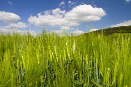 barley in the sun photo