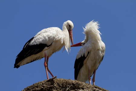 stork couple photo