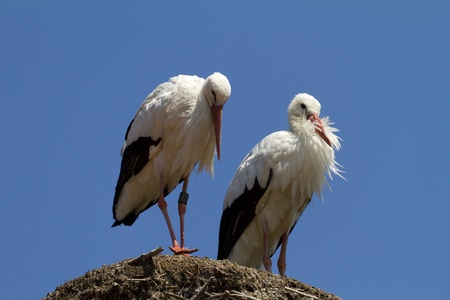 stork couple silently waiting photo
