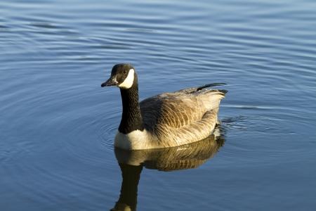 swiming canadian goose