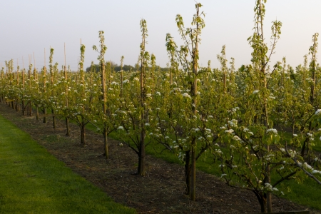 row of pear trees photo