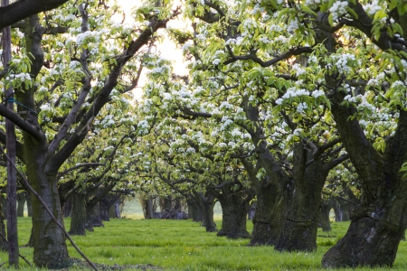 row of apple trees