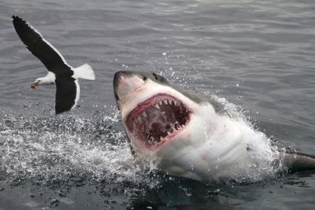 공격 백상어 스톡 사진
