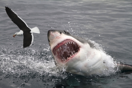 Attack great white shark photo