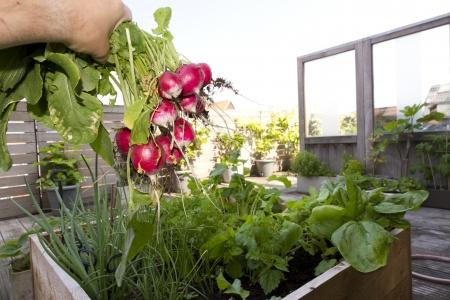 radish from biological garden IV