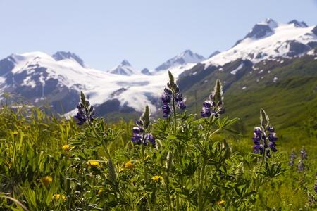 Tundra flowers and Worthington Glacier