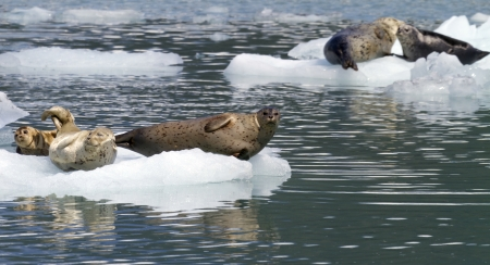 seals on iceberg