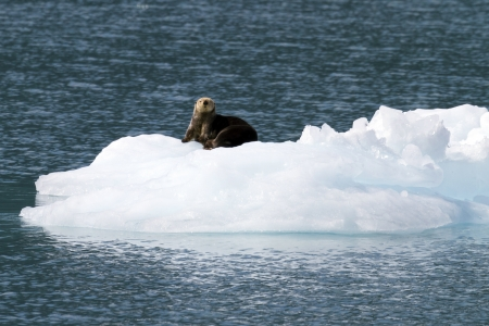 sea otter on ice berg