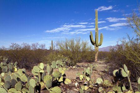 Saguaro in landscape