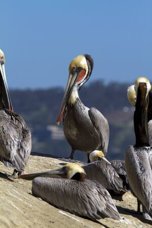 group of pelicans