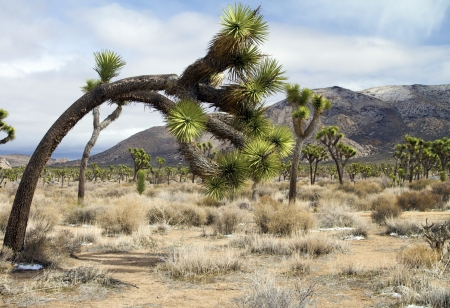 joshua: Joshua tree in landscape