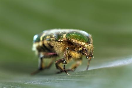 Green Beetle on leaf