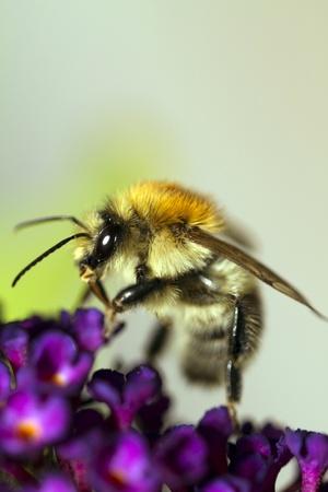 bumblebee on purple flower