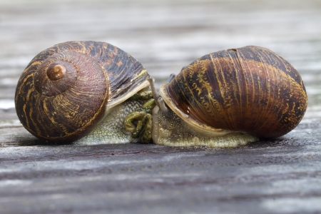 2 brown snails together Stock Photo