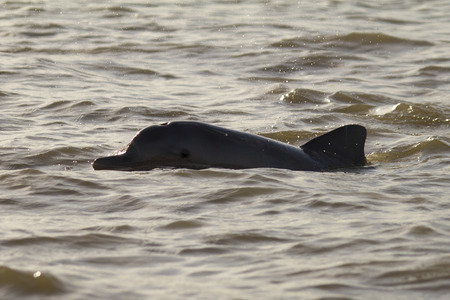 dolphin in the river