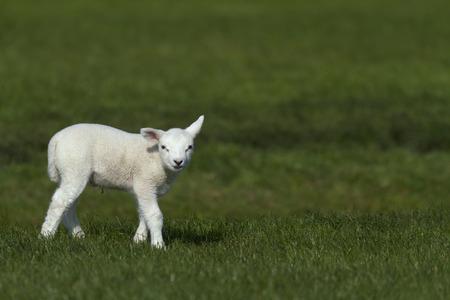 lamb in the green grass Reklamní fotografie