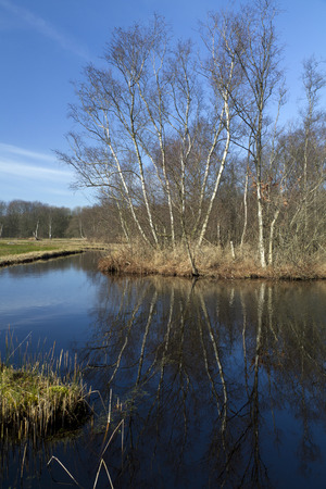 start of spring, birch trees reflecting in the pool