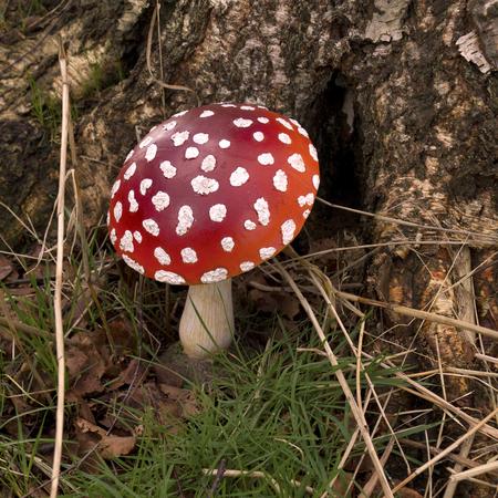 red mushroom Reklamní fotografie